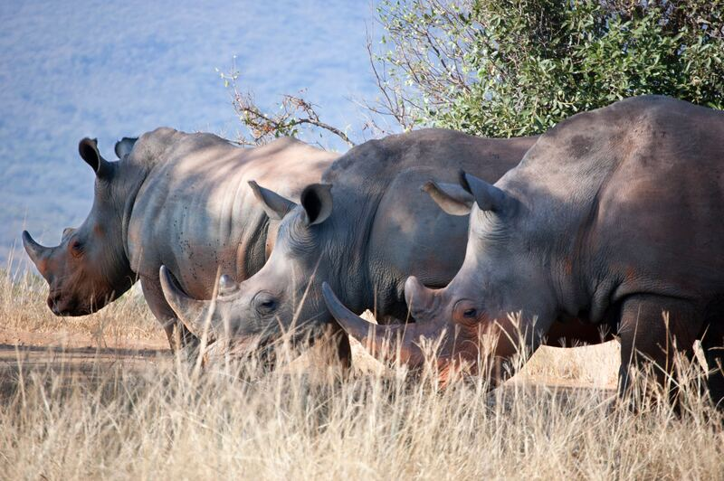 rhino in south africa travel guide before visiting