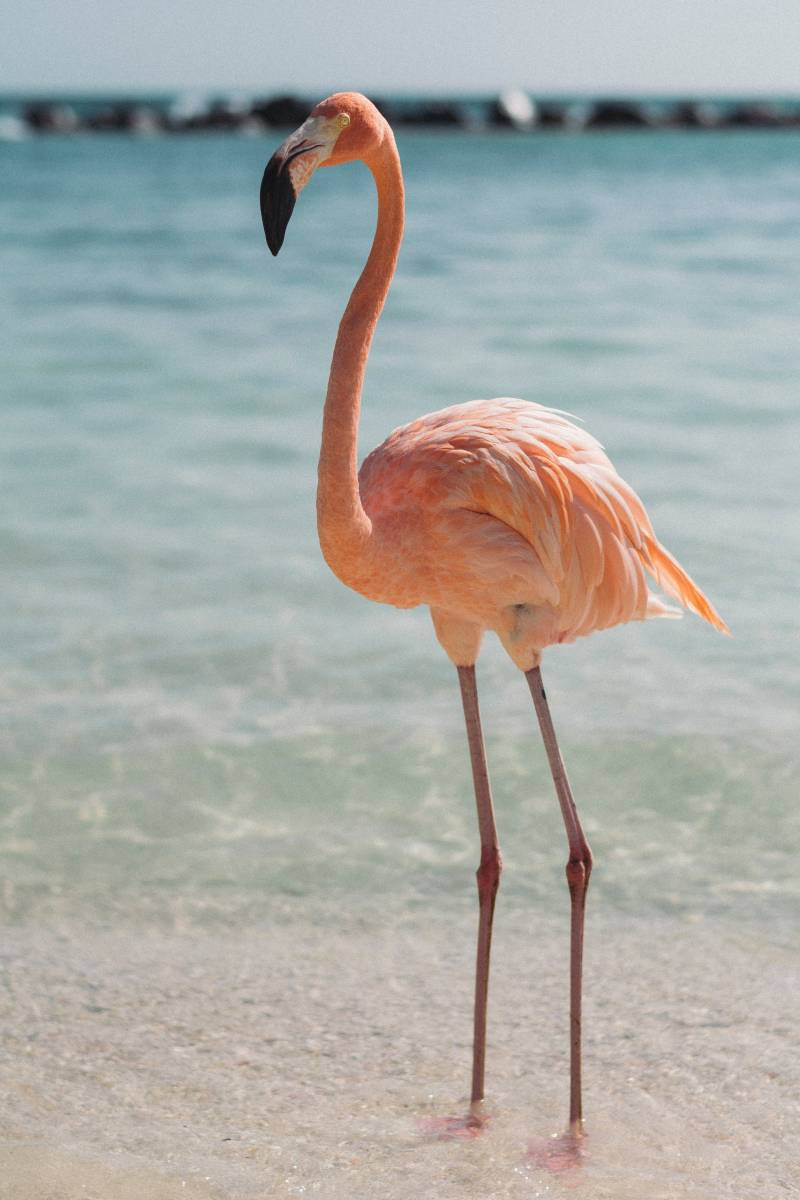 flamingo on aruba flamingo beach
