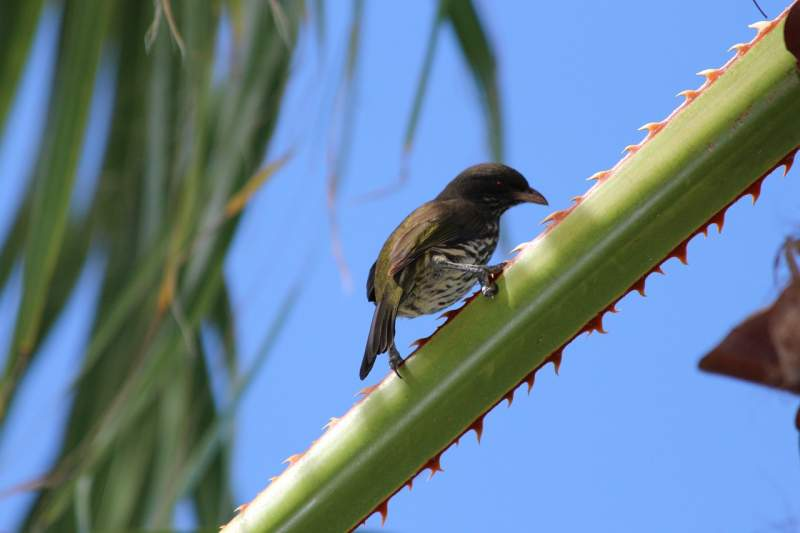 palmchat interesting fun facts dominican republic