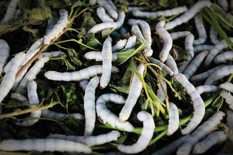 Eating Beondegi Silkworms in South Korea strange food